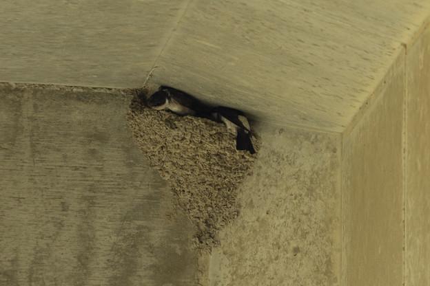 イワツバメ 営巣中