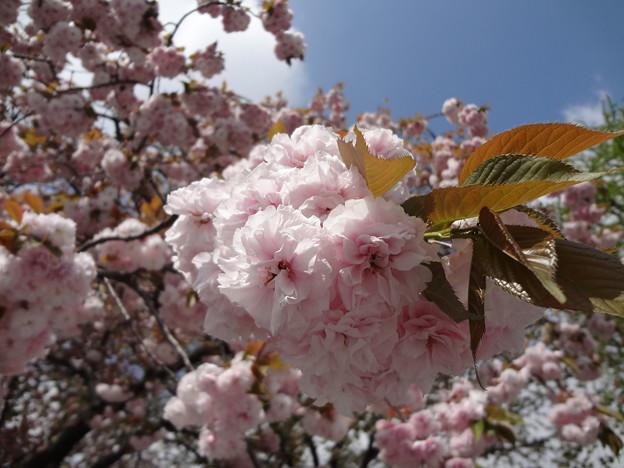 皇居外苑の八重桜06