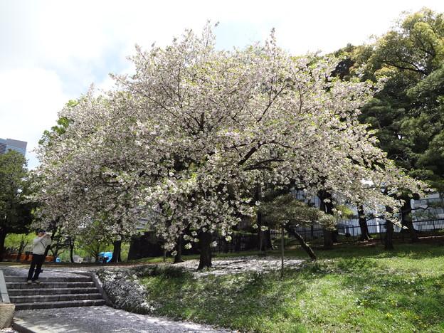 皇居外苑の八重桜09