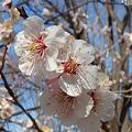 Photos: 梅の花2