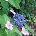 写真: 紫陽花(15*0614)