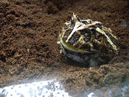 ヤシガラ土とツノガエル