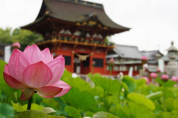八幡宮と蓮の池