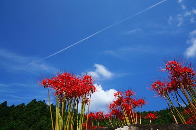 Photos: 青空に赤い花