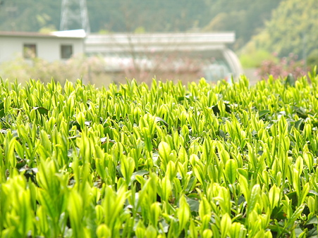 みるい新緑、お茶畑