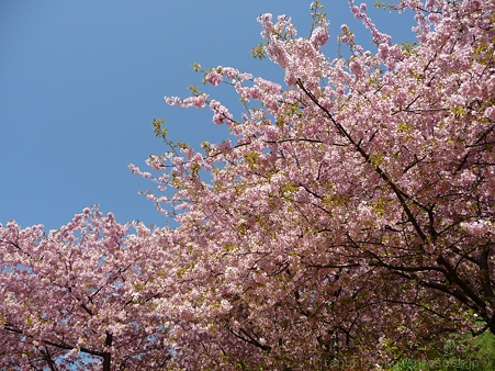 120329-松田山 河津桜 (144)