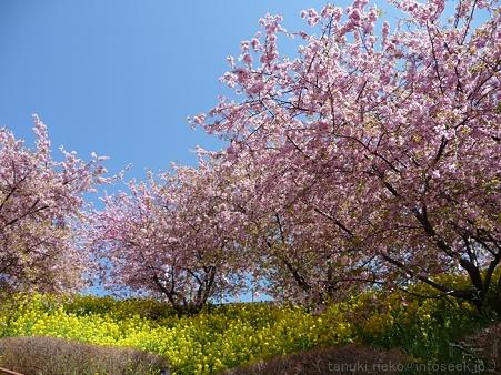 120329-松田山 河津桜 (111)