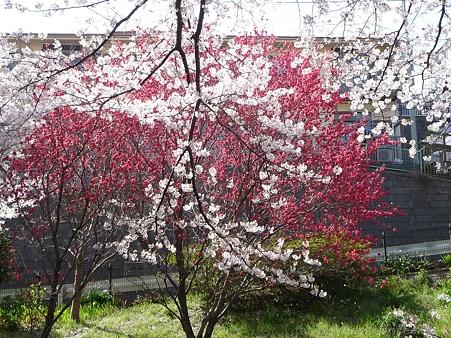 120412-千本桜 (9)