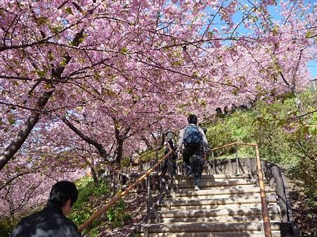 110305-松田山 河津桜 (50)