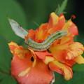 バラの害虫1
