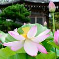 Photos: 蓮と釈迦堂