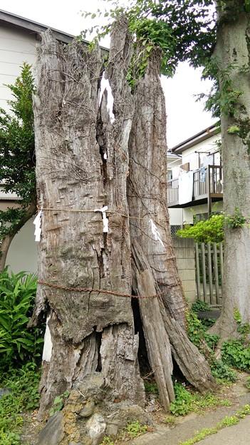 鹿島の大桜