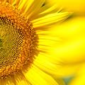 写真: ひまわりの花