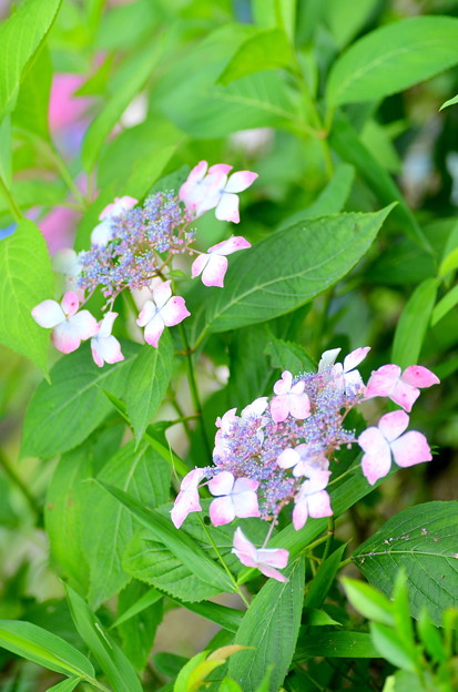 Photos: 紫陽花2015-8