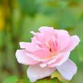 美しかったバラには既に棘なし。