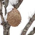 Photos: 【1】スズメバチの巣 {12月28日}