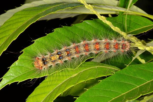 マイマイガ幼虫1