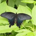 山麓で見かけた蝶  1