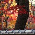 牡丹苑の紅葉4