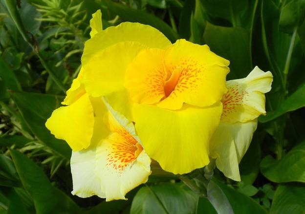 やはらかきカンナの花は夢うつつ