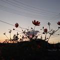 Photos: キバナコスモス~?