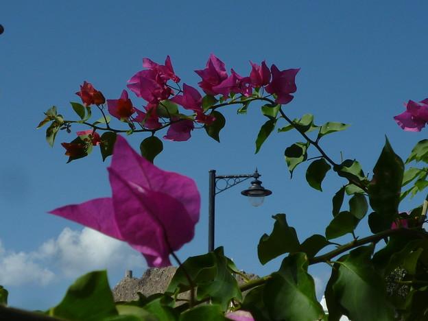 写真: 花の向うはミラニ要塞 Fort beyond flowers