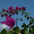 花の向うはミラニ要塞 Fort beyond flowers