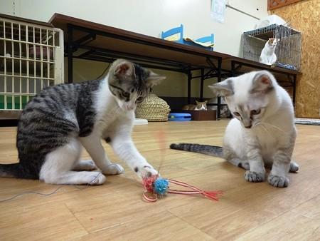 リゼ&ジャワ「オモチャで遊ぶでち」