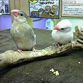 写真: 文鳥。 そろそろ一人餌に成...