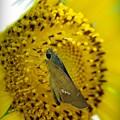 黄色いセセリ