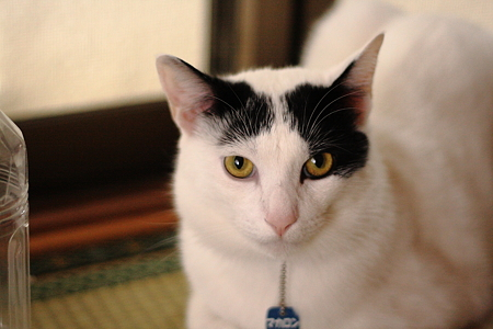 抗議するうし柄猫