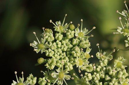 2011.10.27 和泉川 姫散歩 この花の名は ノブドウに似て