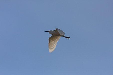 2012.01.24 和泉川 コサギ 飛翔