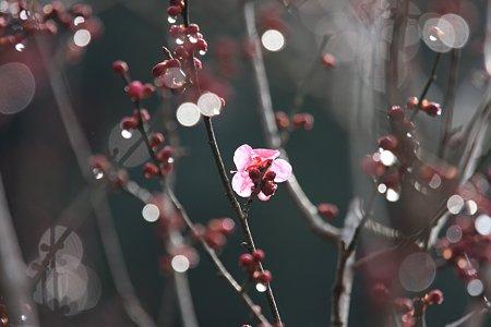 2012.02.23 大池公園 紅梅 雨上り