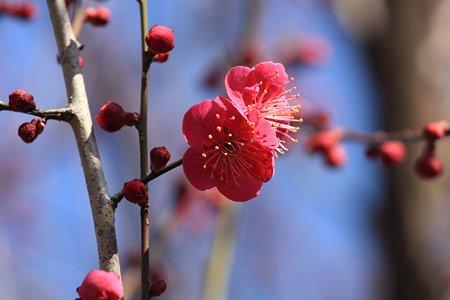 2012.02.27 和泉川 紅梅