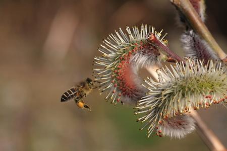 2012.03.06 和泉川 ネコヤナギにミツバチ