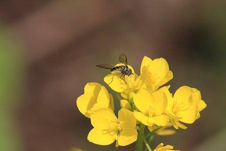 2012.03.22 和泉川 菜の花にヒラタアブ