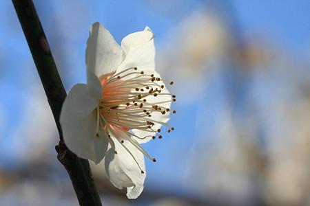 2012.03.26 和泉川 ウメ