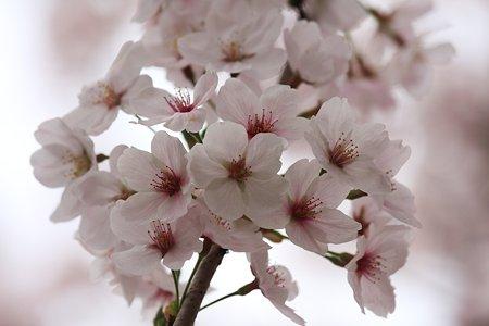 2012.04.13 和泉川 サクラ