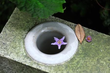 2015.06.10 鎌倉 長谷寺 イワタバコ 落花
