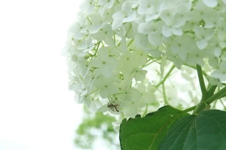 2015.06.13 和泉川 アジサイ 蜘蛛と蟷螂