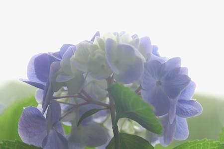 2015.06.14 瀬谷市民の森 アジサイ 記憶