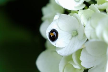 2015.06.15 和泉川 紫陽花にナミテントウ