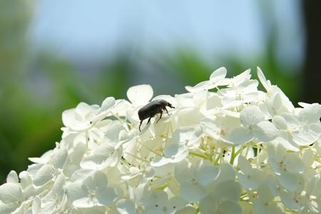 2015.06.24 和泉川 紫陽花にコガネ虫