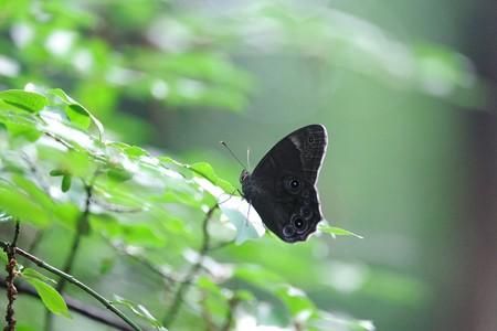 2015.07.02 瀬谷市民の森 クロヒカゲ