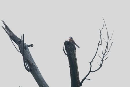 2015.07.02 追分市民の森 枯木でホオジロ
