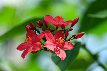 2015.07.15 大船植物園 ホコバヤトロファ
