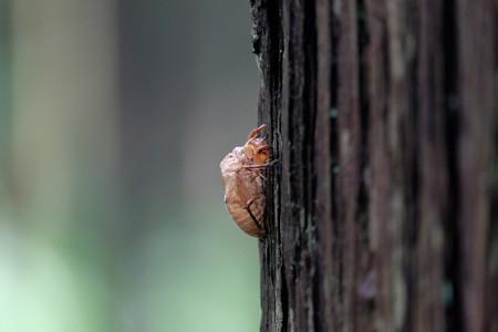 2015.07.17 追分市民の森 杉に空蝉