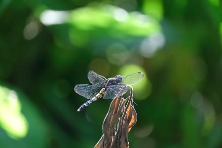 2015.07.21 追分市民の森 枯草にシオカラトンボ