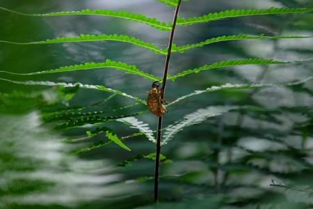 2015.08.05 瀬谷市民の森 シダに空蝉